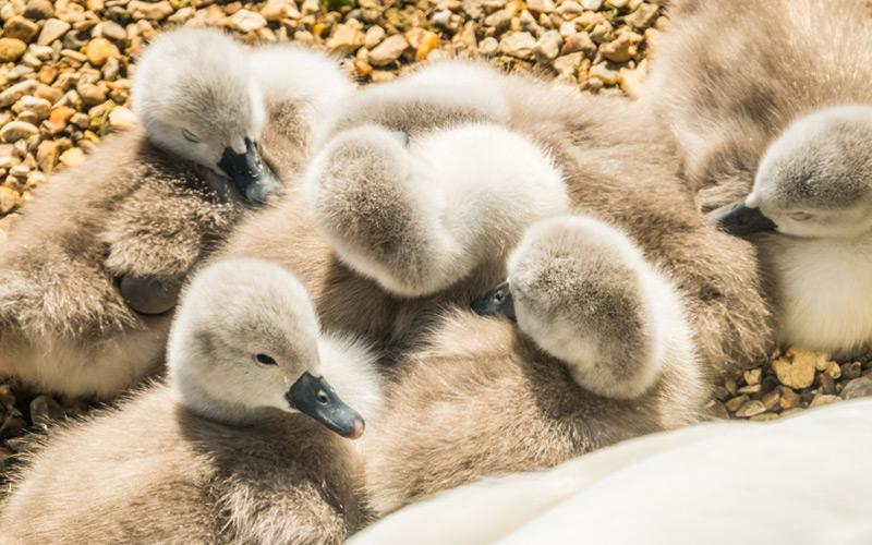 Abbotsbury More Cute Baby Swans
