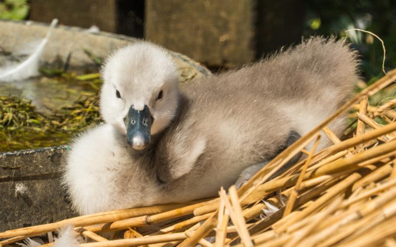 Abbotsbury Baby Swans