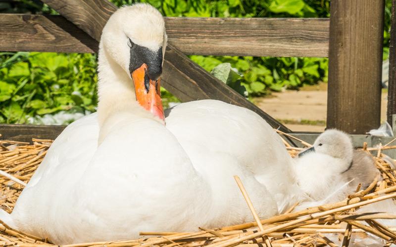 Abbotsbury Mummy Swan and her Babies