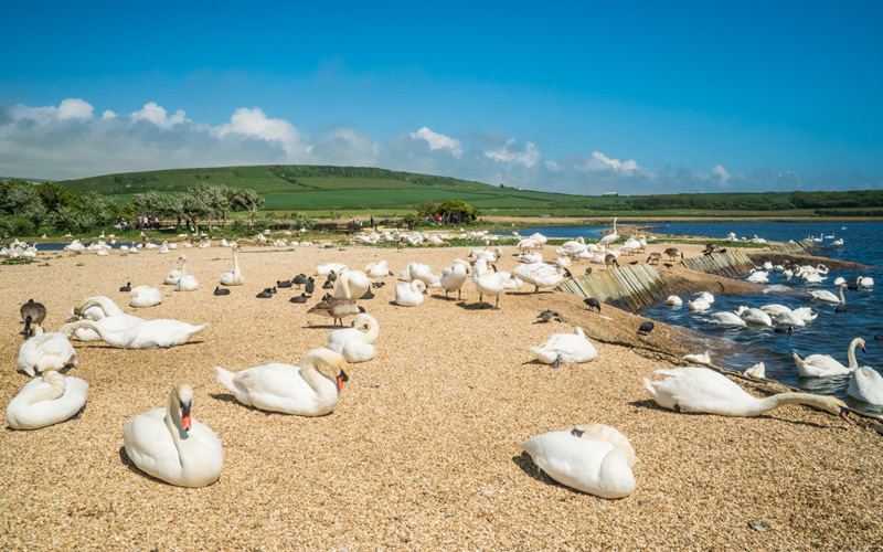 Abbotsbury a Real Sanctuary for Swans