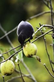 Monkton-Wyld-BlackBird-In-Orchard