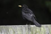 Monkton-Wyld-BlackBird