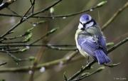 Monkton-Wyld-Blue-Tit-2