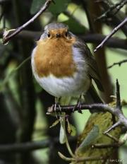 Monkton-Wyld-Bobby-The-Robin-1