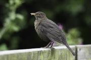 Monkton-Wyld-Female-BlackBird