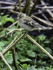 Monkton-Wyld-Female-Chafinch-1