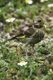 Monkton-Wyld-FemaleGreenfinch