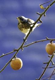 Monkton-Wyld-Fieldfare-Orchard