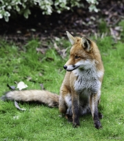 Monkton-Wyld-Fox-2