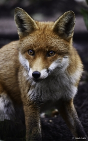 Monkton-Wyld-Fox-4