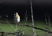 Monkton-Wyld-Goldfinch