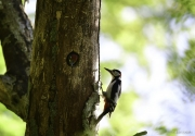 Monkton-Wyld-Great-Spotted-Woodpecker-Chick