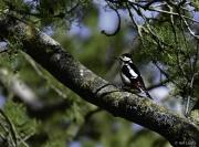 Monkton-Wyld-Great-Spotted-Woodpecker