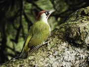 Monkton-Wyld-GreenWoodpecker4