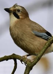 Monkton-Wyld-Jay-In-Tree