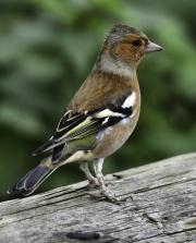 Monkton-Wyld-Male-Chafinch
