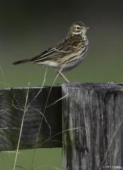 Monkton-Wyld-Meadow-Pipit