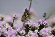 Monkton-Wyld-Painted-Lady