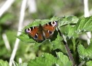Monkton-Wyld-Peacock-Butterfly