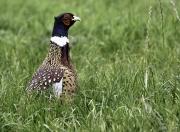 Monkton-Wyld-Pheasant