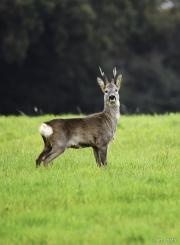 Monkton-Wyld-Roe-Deer-Buck