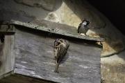 Monkton-Wyld-Sparrow-Nest-Box