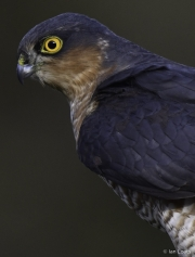 Monkton-Wyld-SparrowHawk