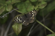 Monkton-Wyld-Speckled-Wood