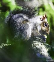 Monkton-Wyld-Squirrel