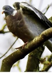 Monkton-Wyld-Wood-Pigeon1