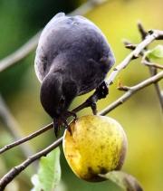 Monkton-Wyld-Camping-Caravanning-Wildlife-Ian-Loats-28-Blackbird