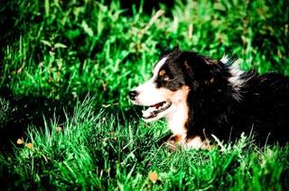 Lyme Regis Farm Dog