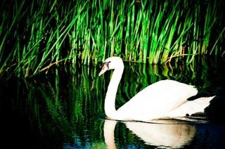 Lyme Regis Swans