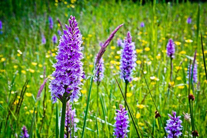 Dorset Wild Orchids